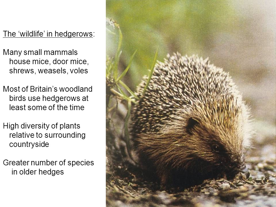 The 'wildlife' in hedgerows: Many small mammals house mice, door mice, shrews, weasels, voles Most of Britain's woodland birds use hedgerows at least