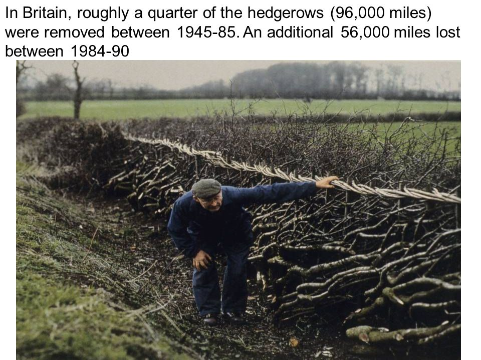 In Britain, roughly a quarter of the hedgerows (96,000 miles) were removed between 1945-85.