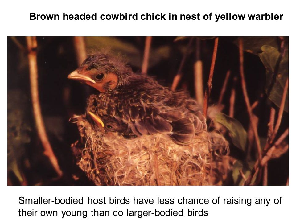 Brown headed cowbird chick in nest of yellow warbler Smaller-bodied host birds have less chance of raising any of their own young than do larger-bodied birds