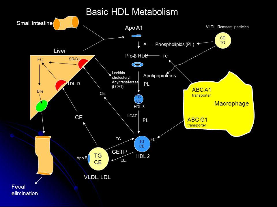 Small Intestine Liver Macrophage ABC A1 transporter ABC G1 transporter Apo A1 FC Pre-β HDL Phospholipids (PL) TG CE HDL-2 Lecithin cholesteryl Acyltransferase (LCAT) PL Apolipoproteins FC TG CE TG CETP LDL -R SR-B1 CE VLDL, LDL Apo B FC Bile Basic HDL Metabolism TG CE Fecal elimination HDL-3 LCAT CE TG VLDL, Remnant particles PL