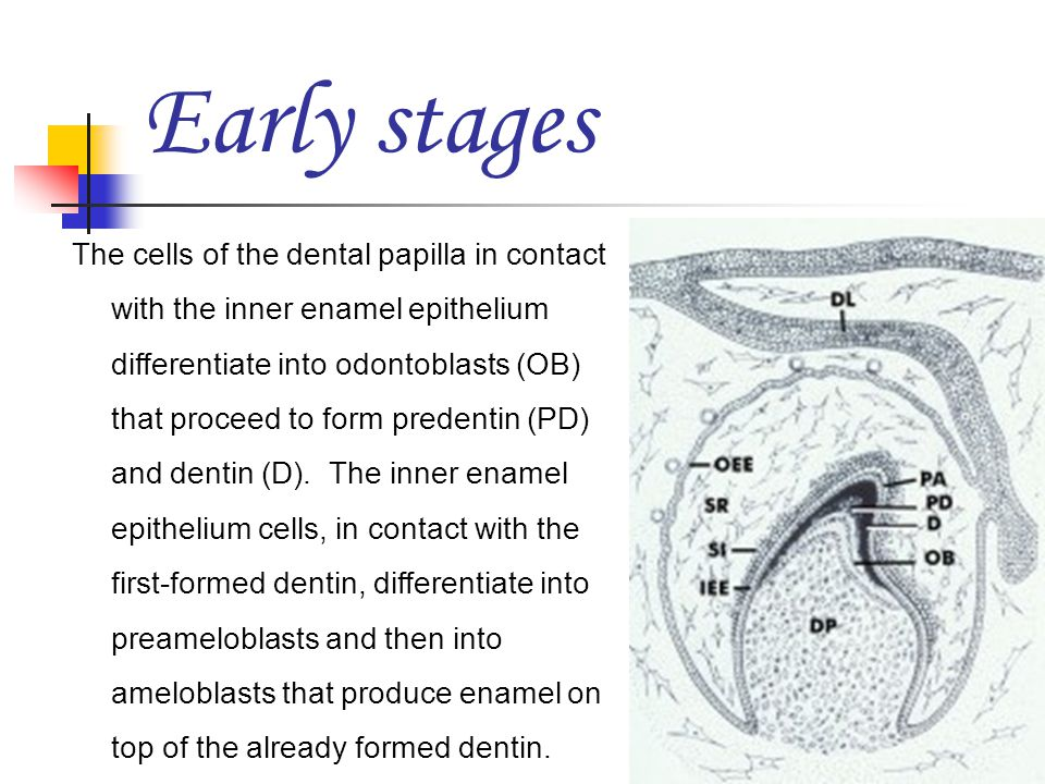 Early stages The cells of the dental papilla in contact with the inner enamel epithelium differentiate into odontoblasts (OB) that proceed to form pre