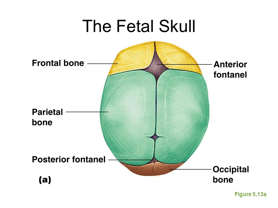 The Fetal Skull Figure 5.13a
