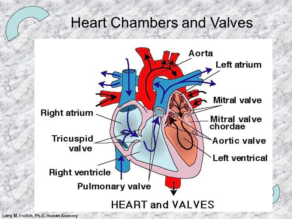 Larry M. Frolich, Ph.D.,Human Anatomy Heart Chambers and Valves