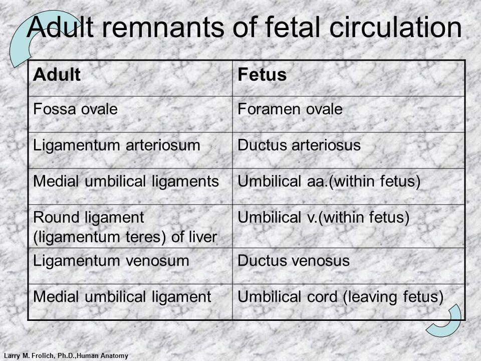 Larry M. Frolich, Ph.D.,Human Anatomy Adult remnants of fetal circulation AdultFetus Fossa ovaleForamen ovale Ligamentum arteriosumDuctus arteriosus M
