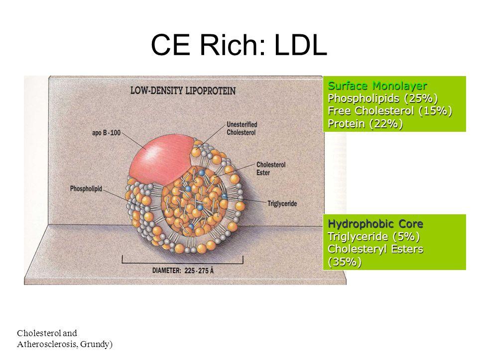 Surface Monolayer Phospholipids (25%) Free Cholesterol (15%) Protein (22%) Hydrophobic Core Triglyceride (5%) Cholesteryl Esters (35%) CE Rich: LDL Ch