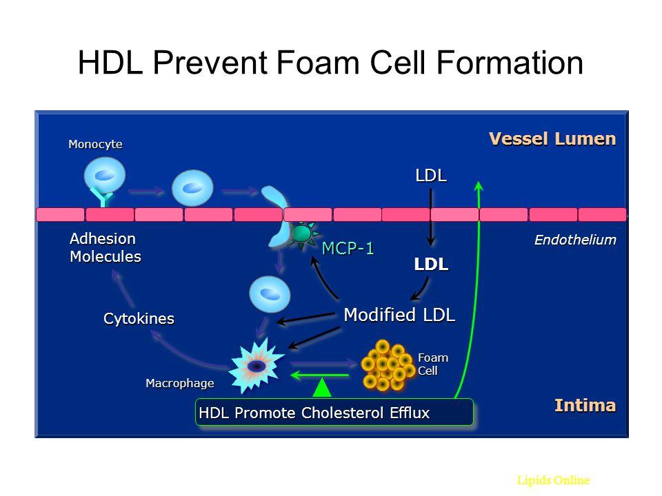 HDL Prevent Foam Cell Formation LDL LDL Miyazaki A et al. Biochim Biophys Acta 1992;1126:73-80. Endothelium Vessel Lumen Monocyte Modified LDL Macroph