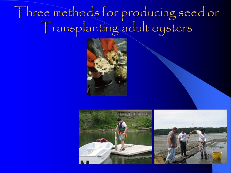 Three methods for producing seed or Transplanting adult oysters
