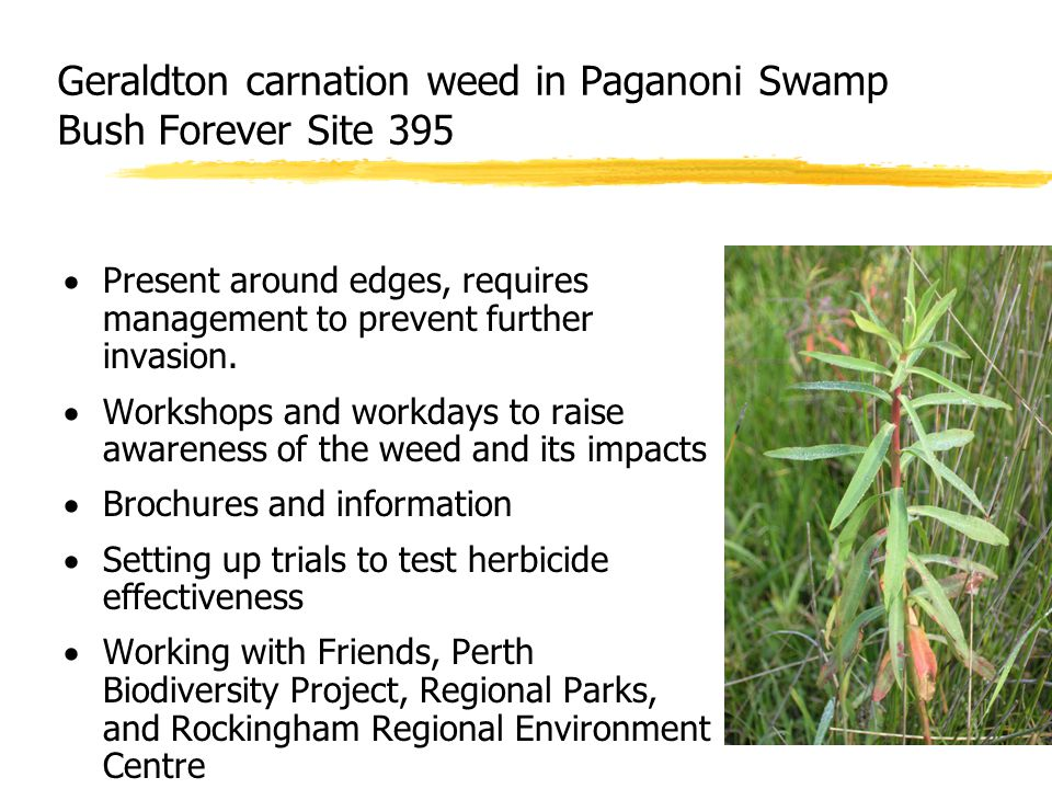 Geraldton carnation weed in Paganoni Swamp Bush Forever Site 395  Present around edges, requires management to prevent further invasion.  Workshops