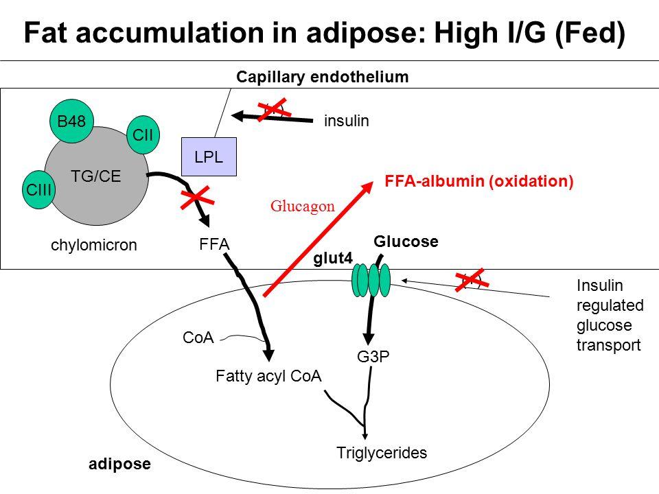 Fat accumulation in adipose: High I/G (Fed) FFA adipose Glucose Insulin regulated glucose transport CoA Fatty acyl CoA G3P Triglycerides TG/CE B48 CII