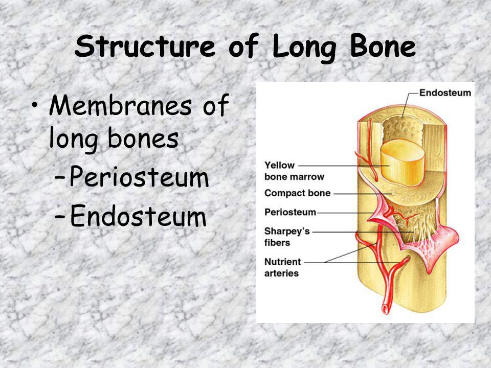 Structure of Long Bone Membranes of long bones –Periosteum –Endosteum
