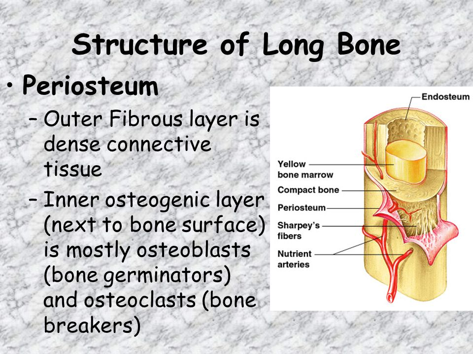 Structure of Long Bone Periosteum –Outer Fibrous layer is dense connective tissue –Inner osteogenic layer (next to bone surface) is mostly osteoblasts (bone germinators) and osteoclasts (bone breakers)