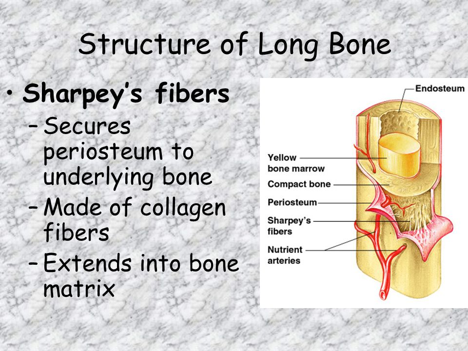 Structure of Long Bone Sharpey's fibers –Secures periosteum to underlying bone –Made of collagen fibers –Extends into bone matrix