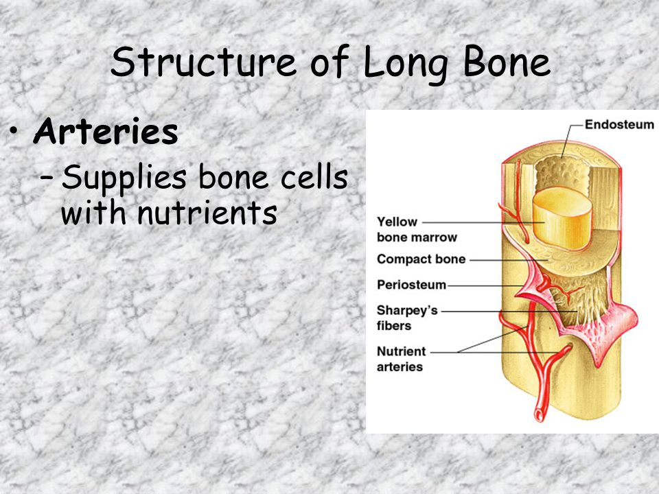 Structure of Long Bone Arteries –Supplies bone cells with nutrients
