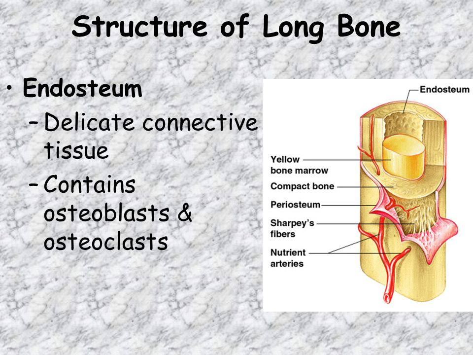 Structure of Long Bone Endosteum –Delicate connective tissue –Contains osteoblasts & osteoclasts