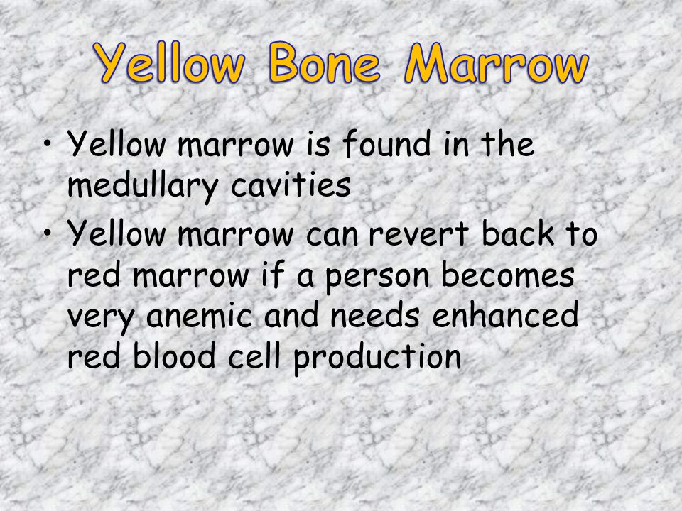Yellow marrow is found in the medullary cavities Yellow marrow can revert back to red marrow if a person becomes very anemic and needs enhanced red blood cell production