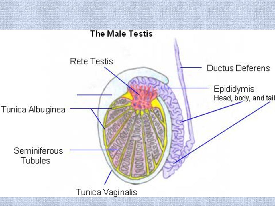 Testicular infarct.