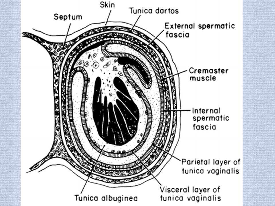 Appendix of epididymus