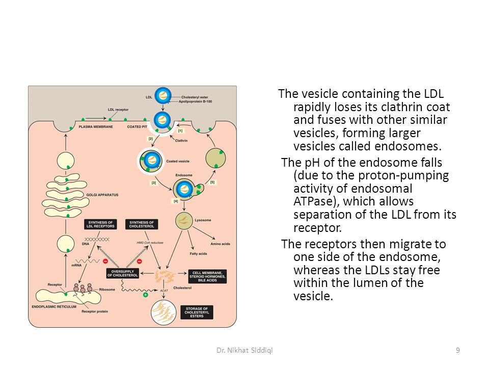 The vesicle containing the LDL rapidly loses its clathrin coat and fuses with other similar vesicles, forming larger vesicles called endosomes. The pH