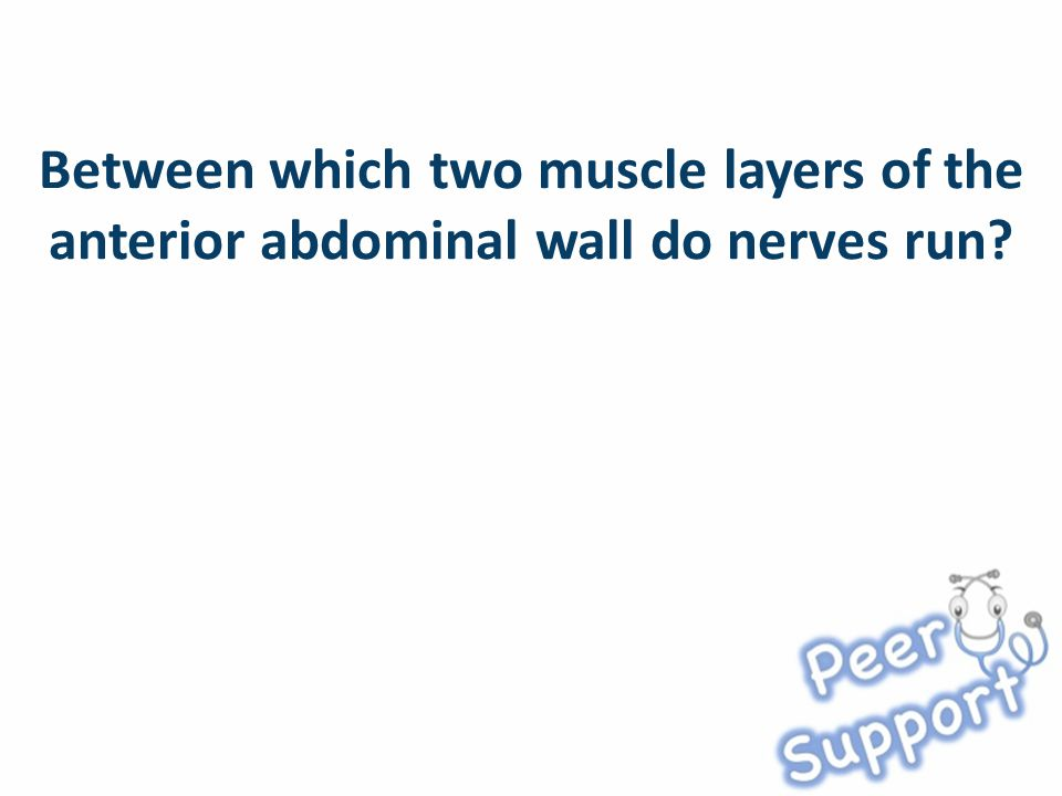 Between which two muscle layers of the anterior abdominal wall do nerves run?