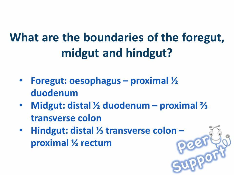 Foregut: oesophagus – proximal ½ duodenum Midgut: distal ½ duodenum – proximal ⅔ transverse colon Hindgut: distal ⅓ transverse colon – proximal ½ rectum