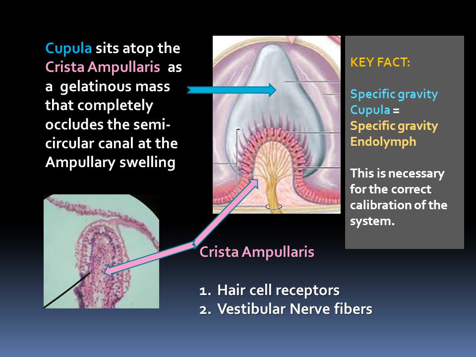 Crista Ampullaris 1.Hair cell receptors 2.Vestibular Nerve fibers Cupula sits atop the Crista Ampullaris as a gelatinous mass that completely occludes