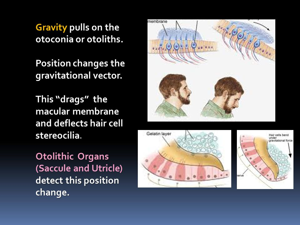 "Gravity pulls on the otoconia or otoliths. Position changes the gravitational vector. This ""drags"" the macular membrane and deflects hair cell stereoc"