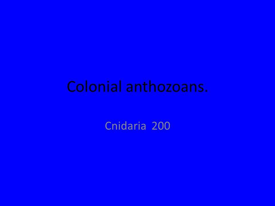 Colonial anthozoans. Cnidaria 200