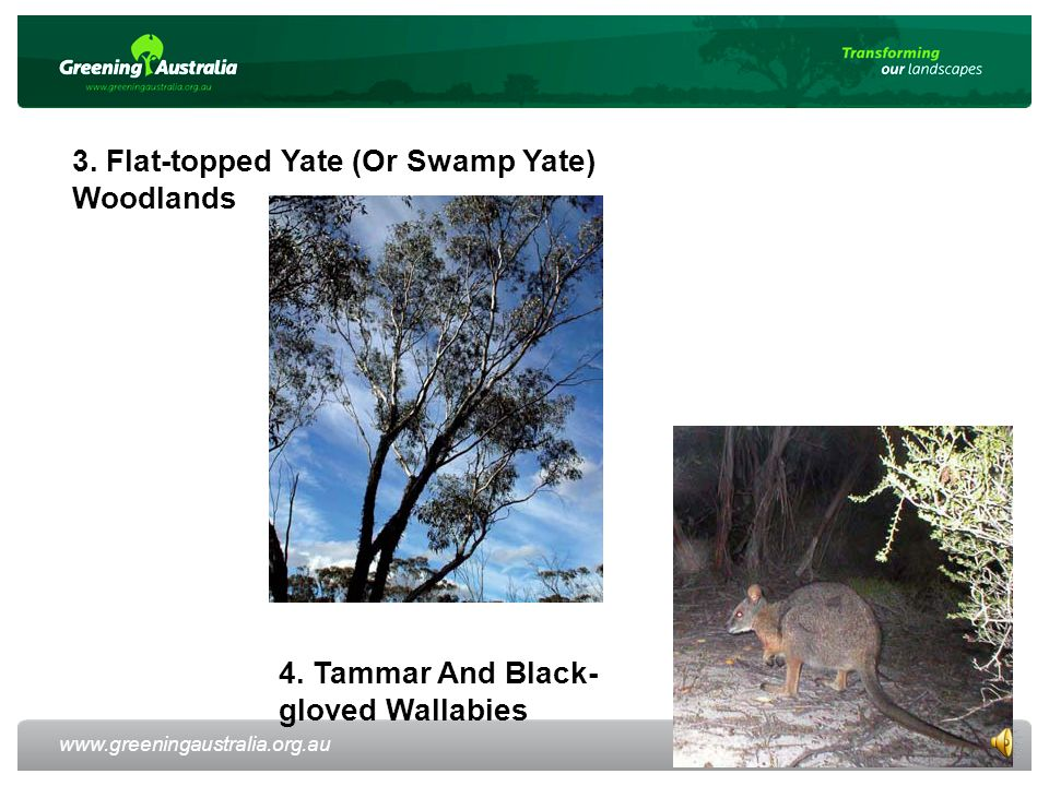 www.greeningaustralia.org.au 9 3. Flat-topped Yate (Or Swamp Yate) Woodlands 4.