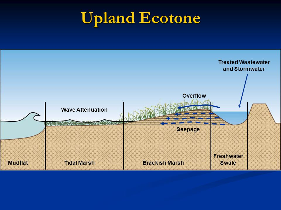 Upland Ecotone Rapid landward movement increases as sea level rises MudflatTidal MarshBrackish Marsh Freshwater Swale Treated Wastewater and Stormwater Seepage Overflow Wave Attenuation