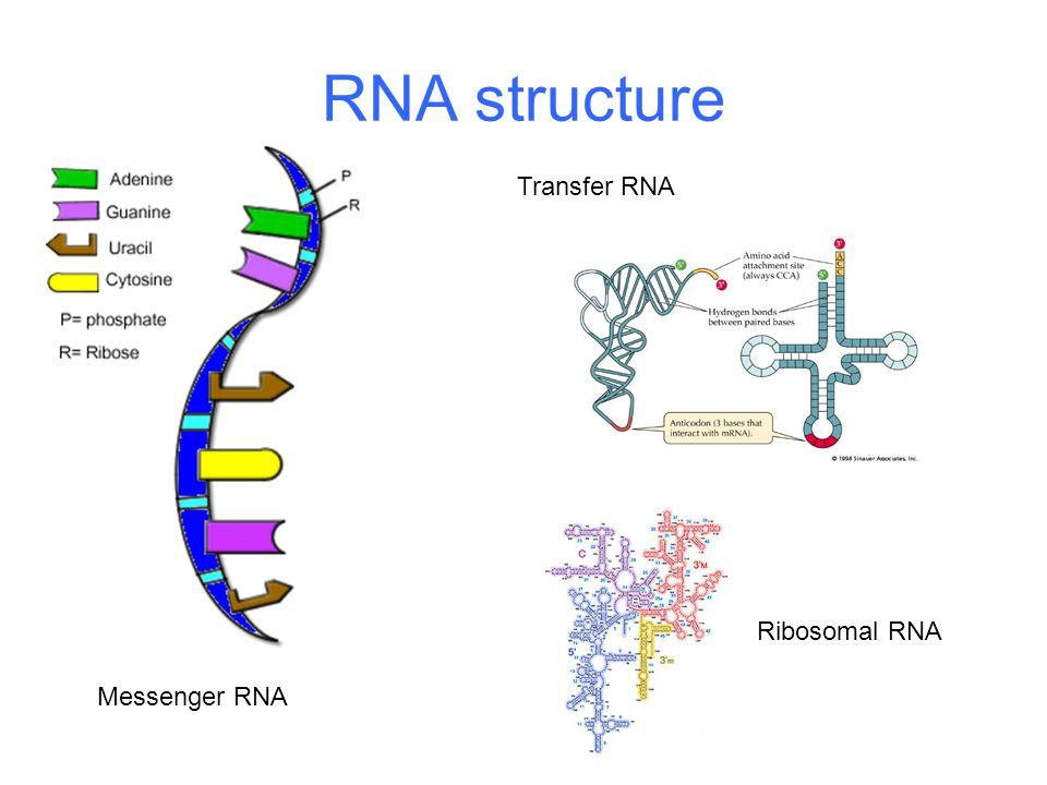 RNA structure Messenger RNA Transfer RNA Ribosomal RNA