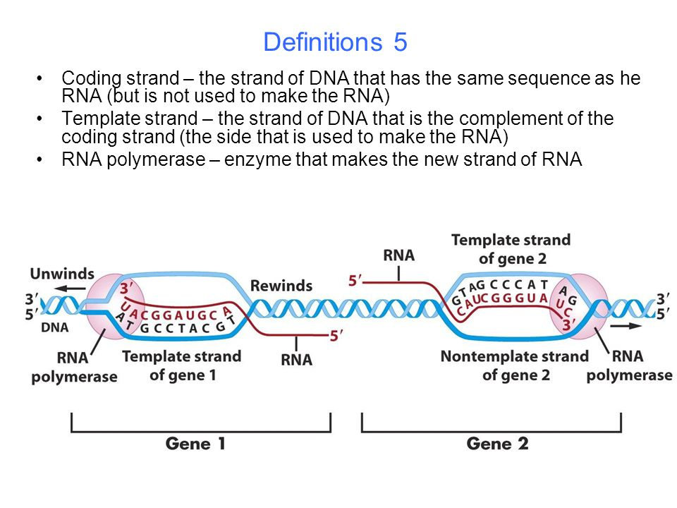 Definitions 5 Coding strand – the strand of DNA that has the same sequence as he RNA (but is not used to make the RNA) Template strand – the strand of DNA that is the complement of the coding strand (the side that is used to make the RNA) RNA polymerase – enzyme that makes the new strand of RNA