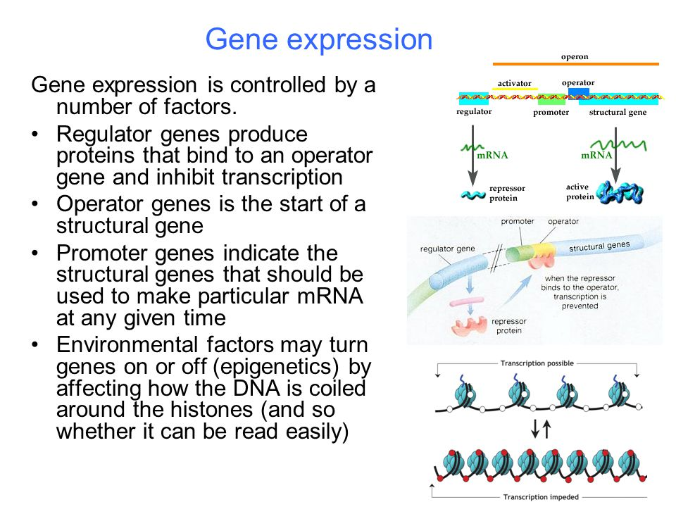Gene expression Gene expression is controlled by a number of factors.