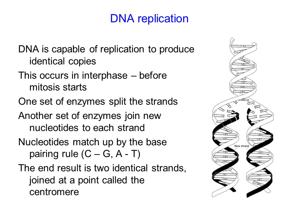 DNA replication DNA is capable of replication to produce identical copies This occurs in interphase – before mitosis starts One set of enzymes split the strands Another set of enzymes join new nucleotides to each strand Nucleotides match up by the base pairing rule (C – G, A - T) The end result is two identical strands, joined at a point called the centromere
