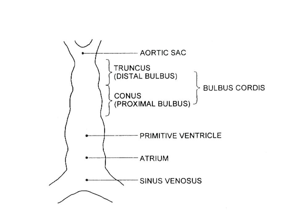 Type A-involution of both dorsal aorta distal to 4 th arch,prox to persistent 6 th arch Type b-involution of one 4 th arch and one dorsal aorta b/w 4 th and 6 th Type C-involution of one limb of truncoaortic sac