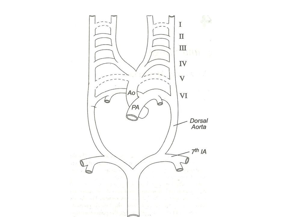 Summary Aortic arch anomalies and vascular rings can be interpreted on the basis of embryology With the devt.