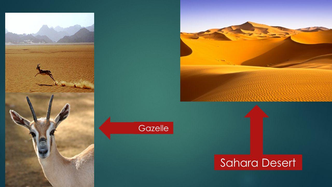 Sahara Desert Gazelle