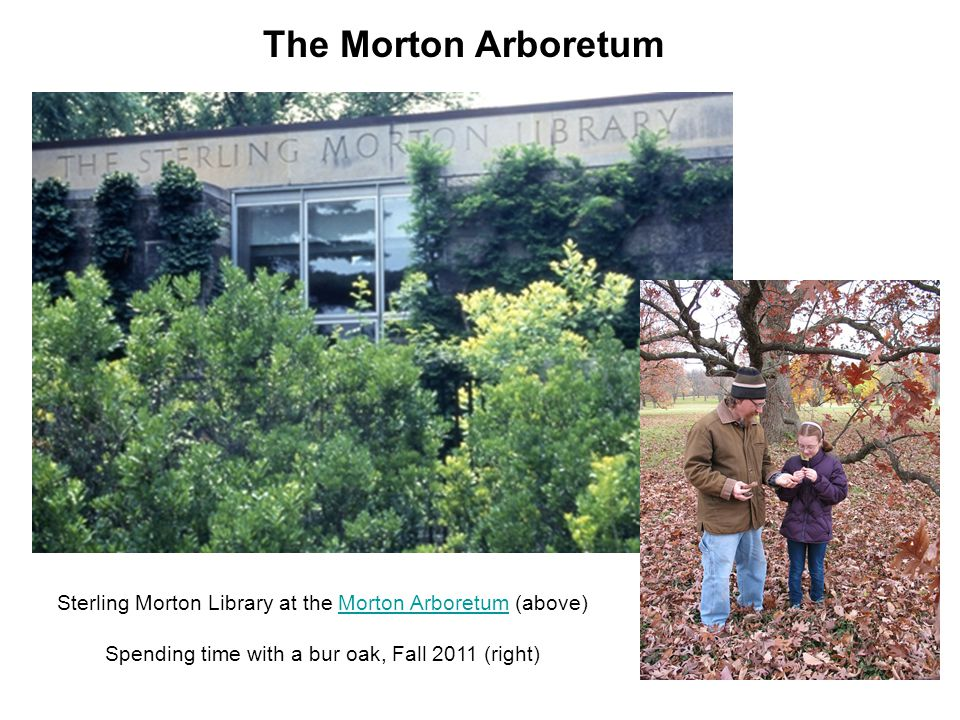 Sterling Morton Library at the Morton Arboretum (above)Morton Arboretum Spending time with a bur oak, Fall 2011 (right) The Morton Arboretum
