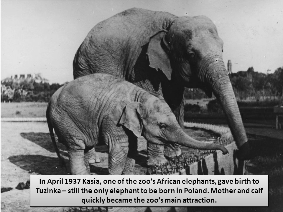 In April 1937 Kasia, one of the zoo's African elephants, gave birth to Tuzinka – still the only elephant to be born in Poland. Mother and calf quickly