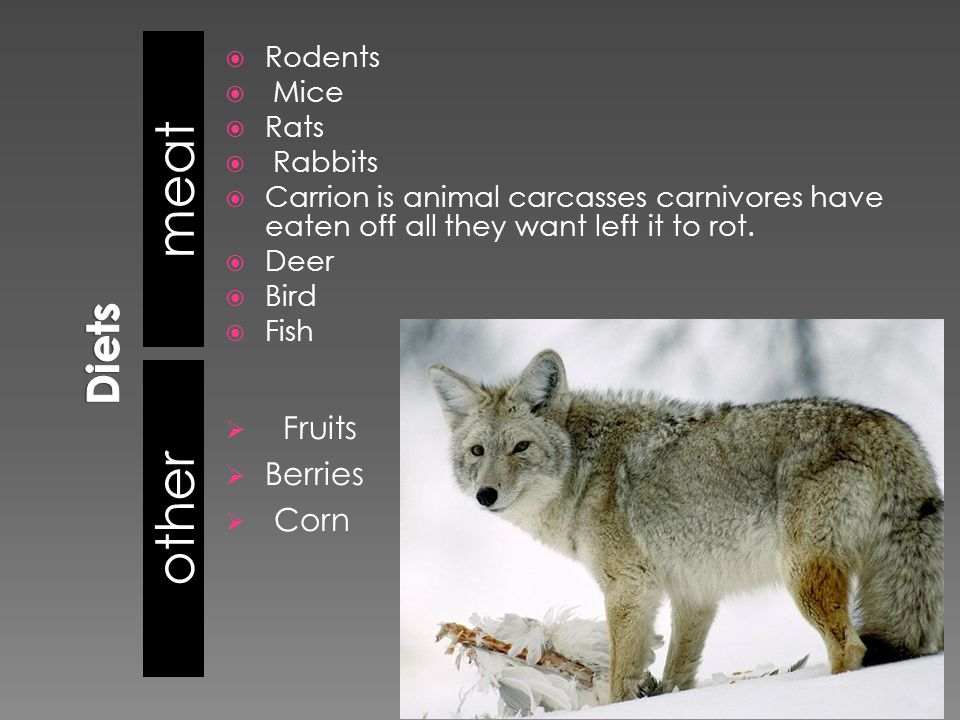 meat other  Fruits  Berries  Corn  Rodents  Mice  Rats  Rabbits  Carrion is animal carcasses carnivores have eaten off all they want left it to rot.