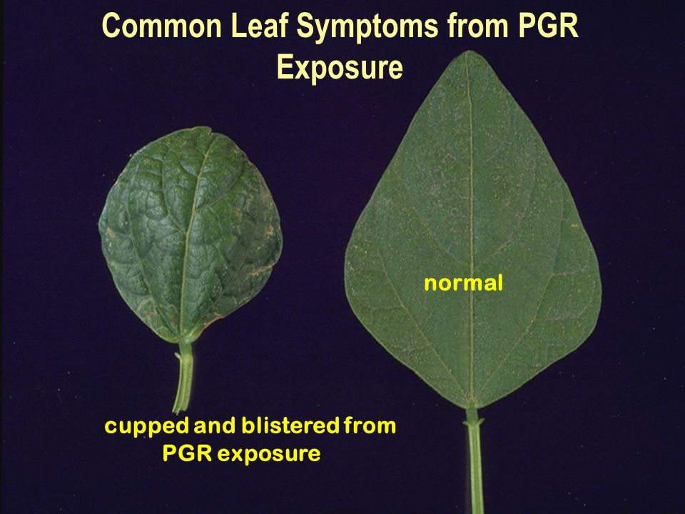 Common Leaf Symptoms from PGR Exposure normal cupped and blistered from PGR exposure