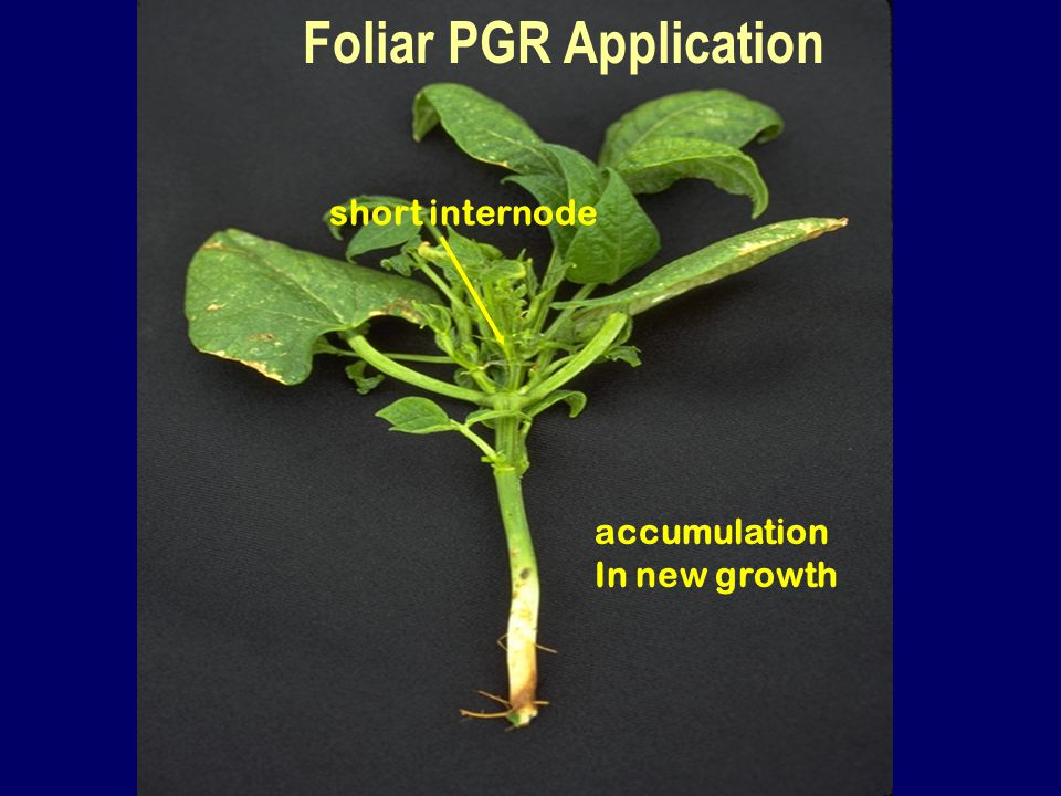 short internode accumulation In new growth Foliar PGR Application