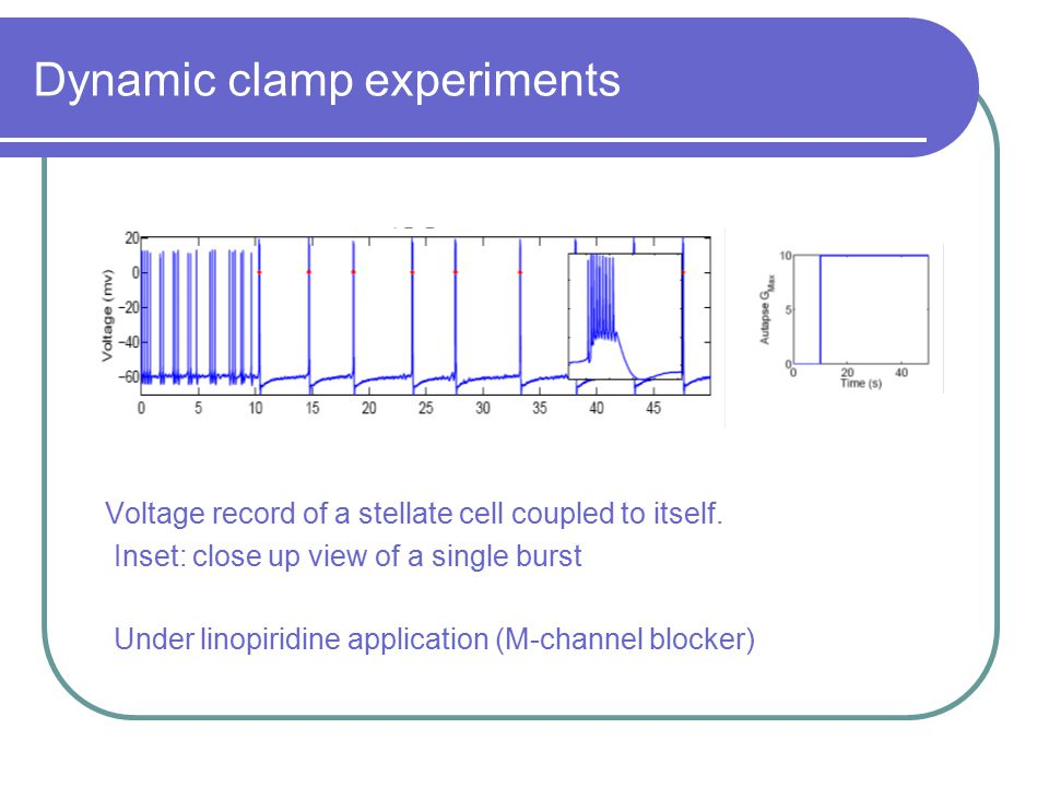 Dynamic clamp experiments Voltage record of a stellate cell coupled to itself. Inset: close up view of a single burst Under linopiridine application (