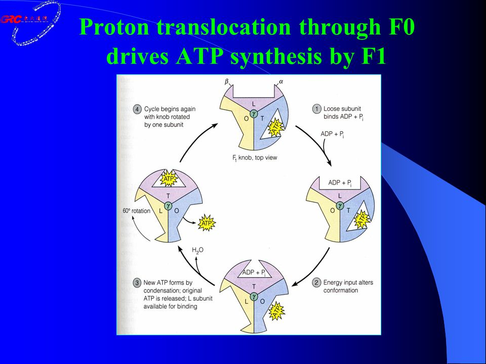 Proton translocation through F0 drives ATP synthesis by F1