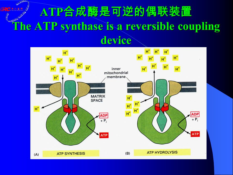 ATP 合成酶是可逆的偶联装置 The ATP synthase is a reversible coupling device