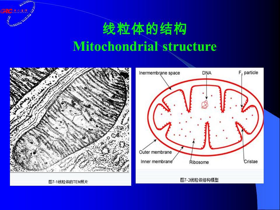 ◆外膜 (outer membrane ) ◆内膜( inner membrane ) ◆膜间隙( intermembrane space ) ◆基质( matrix ) Mitochondrial structure
