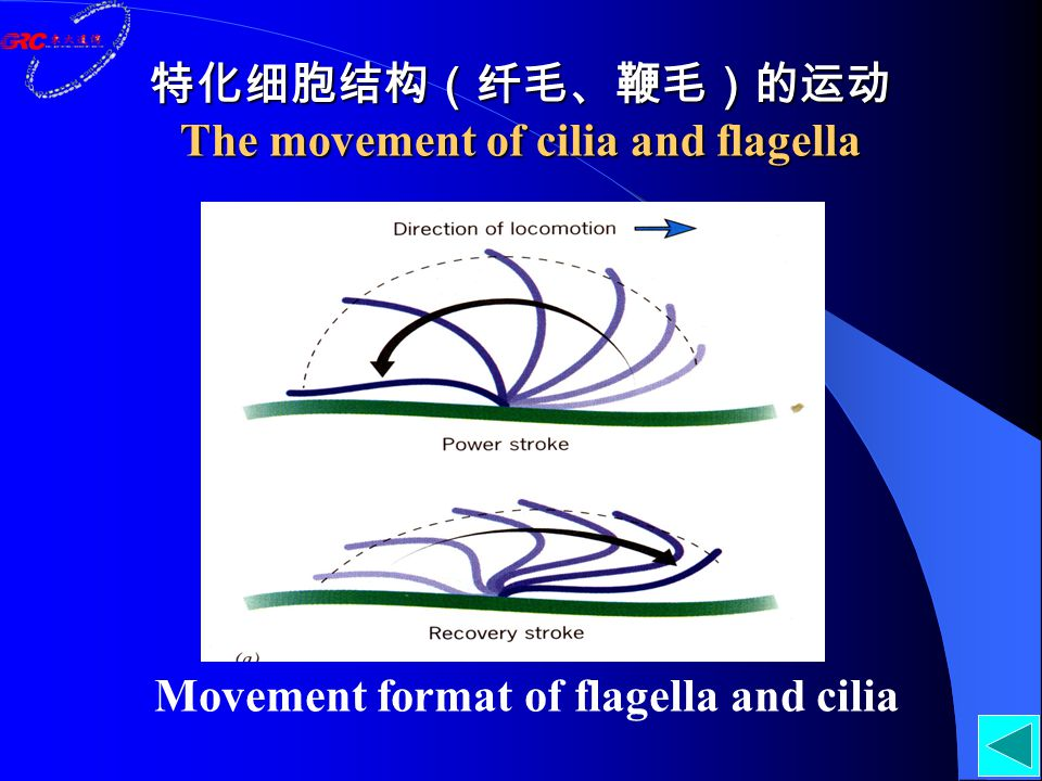 特化细胞结构(纤毛、鞭毛)的运动 The movement of cilia and flagella Movement format of flagella and cilia