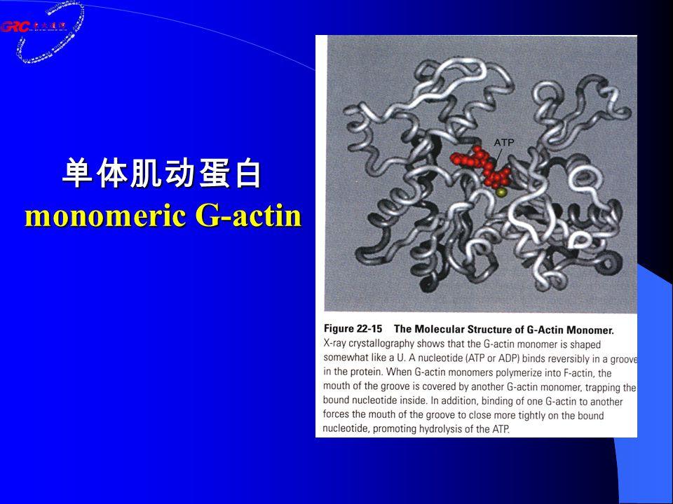 单体肌动蛋白 monomeric G-actin