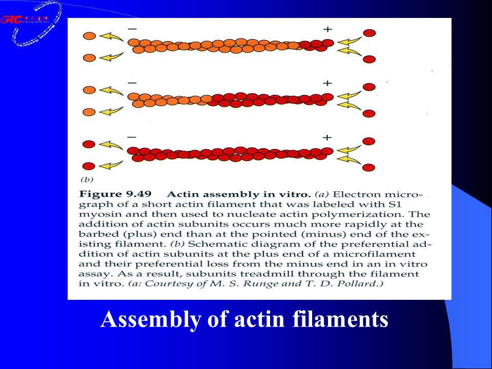 Assembly of actin filaments