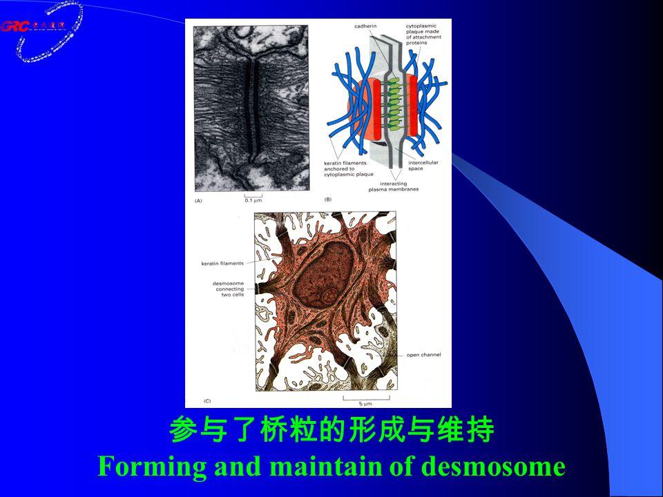 参与了桥粒的形成与维持 Forming and maintain of desmosome