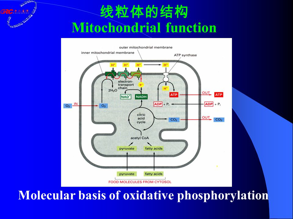 Molecular basis of oxidative phosphorylation 线粒体的结构 Mitochondrial function
